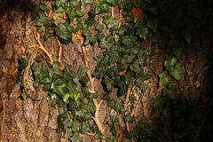 Bark of tree covered by ivy. Oak brown bark of tree enlaced with green ivy leaves branches climber plant with shadow in spring season beautiful wildlife texture royalty free stock photography