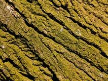 Bumpy green bark of old poplar royalty free stock photo