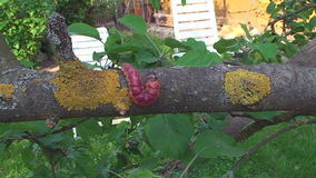 The bark of the tree creeps a large caterpillar stock video footage