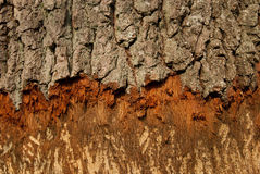 Bark of tree destroyed by beavers Stock Photo