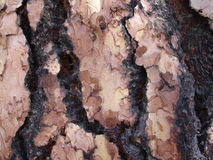 Bark of a tree detail Royalty Free Stock Photo