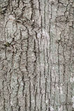 The bark. Of a tree in gray royalty free stock photography