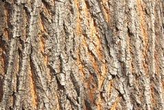 The bark of the tree. The gray-orange bark. Royalty Free Stock Photography