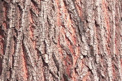 The bark of the tree. The gray-red bark. Stock Photography