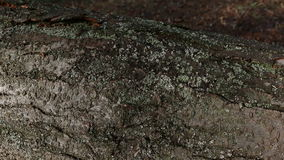 The bark of the tree with green moss. Macro shot stock footage