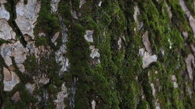 The bark of the tree with green moss. Macro shot stock video footage