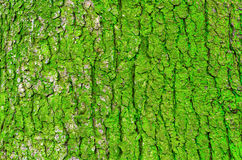 Bark of a tree and green moss on a trunk Royalty Free Stock Photography