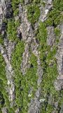 Bark of a tree with green plants. Green plants on the bark of a tree in spring Royalty Free Stock Image