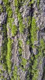 Bark of a tree with green plants. Green plants on the bark of a tree in spring Royalty Free Stock Photo
