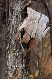 The bark of the tree hangs from the trunk Royalty Free Stock Photography