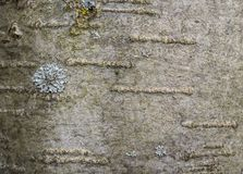 The bark of the tree with the lichen Royalty Free Stock Image