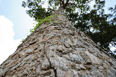 Bark of tree and look up to sky Stock Photography