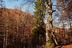 Bark tree with moss on autumn colourful forest. Stock Photos