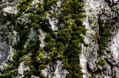 The bark of a tree with moss Royalty Free Stock Image