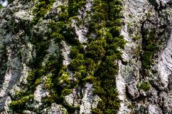 The bark of a tree with moss Stock Photography