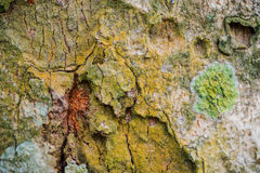 Bark of tree in nature. Seamless Texture, photographed by close Royalty Free Stock Photo