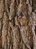Bark  tree  oak Stock Image