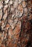 Bark of tree. Old tree bark, pine, texture Stock Photography