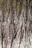 Bark of the tree Royalty Free Stock Images