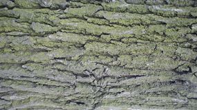 The bark of the old acacia. stock photography