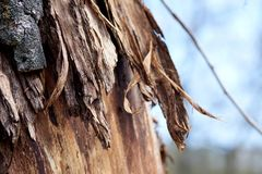 Bark on a tree partially flayed stock photos