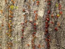 The bark of the tree with the resin Royalty Free Stock Photos