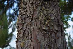 Bark of tree with sabila. Tree and its brown bark where the saliva of it is drained yellow Stock Photos