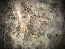 Bark of tree, sepia tone filter Royalty Free Stock Photo