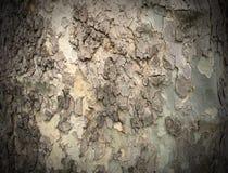 Bark of tree, sepia tone filter. Background Royalty Free Stock Photo