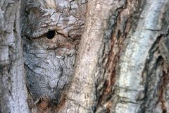 The bark of the tree is similar to the human eye. Natural background texture royalty free stock photography