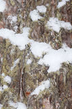 The bark of tree with snow Stock Images