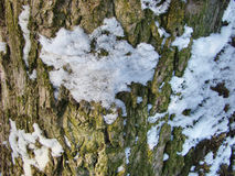 Bark of a tree. With snow falling on him Stock Photos