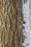 Bark of a tree with a strong texture covered with snow curtains royalty free stock image