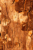 The bark of the tree in the sunlight Royalty Free Stock Photography