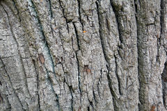 Bark of the tree. Texture and background. Nature and wood. Forest background Royalty Free Stock Photography