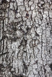 Bark of Tree. Texture background - bark of an old tree royalty free stock images
