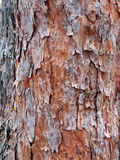 Bark tree texture. Texture of red pine bark royalty free stock image