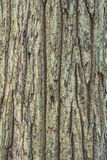 Bark tree texture Stock Image