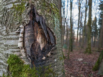 The bark of a tree torn open. A big tree with torn bark Stock Image