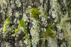 Bark tree and tree trunk texture Royalty Free Stock Images