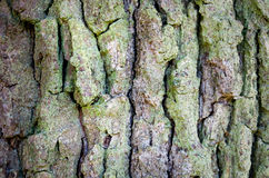 Bark of tree trunk Stock Images
