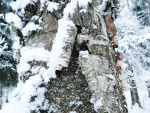 Bark tree winter in snow frost Royalty Free Stock Photos