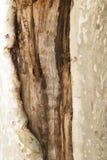 Bark tree wound Royalty Free Stock Photo