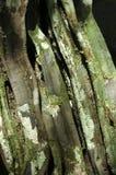 Bark of tropical tree. Amazon rain forest Stock Photography