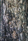 Bark of tropical tree Stock Photography