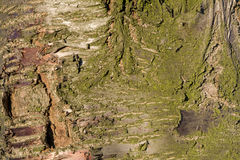 Bark on the trunk of an old cherry tree.Details.Texture. Stock of an old cherry tree in early spring Stock Photo