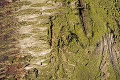 Bark on the trunk of an old cherry tree.Details.Texture. Stock Images