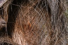 Bark on the trunk of a palm tree. In the form of thin interlacing wood threads Royalty Free Stock Photography