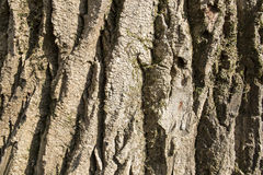 Bark of the trunk Royalty Free Stock Photo