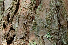 The bark on the trunk of a pine background texture pattern Stock Photography